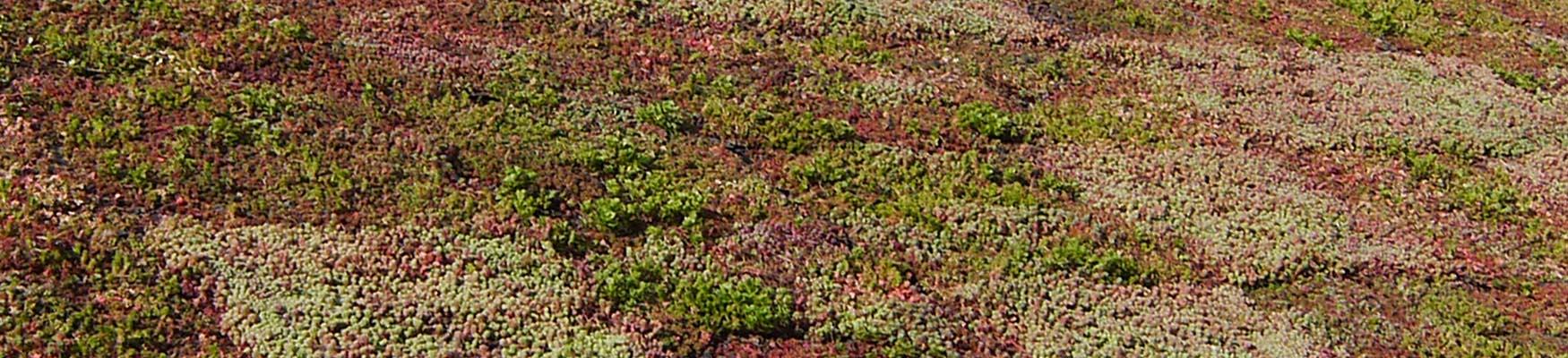 Sedum végétalisation des toitures